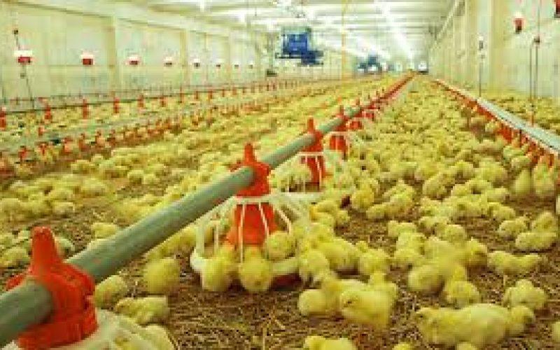Ferma pentru pui de carne de la Lunca Mureşului a obţinut Autorizaţia integrată de mediu